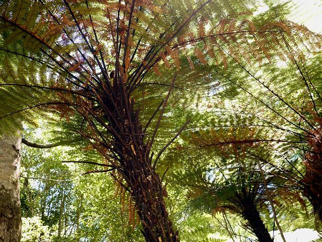 Fern Trees