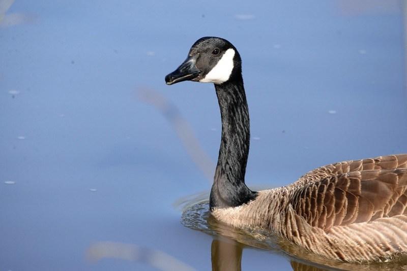 _DSC5973 Canada Goose