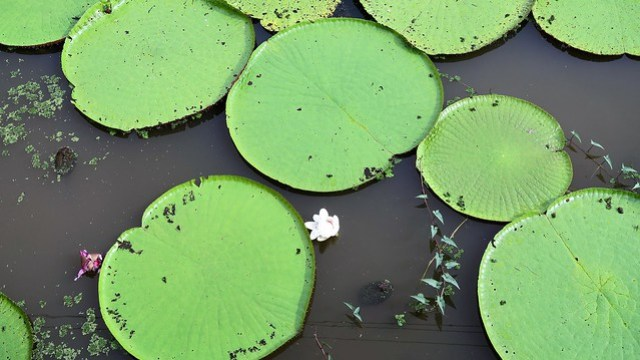 Amazon Water Lily flower