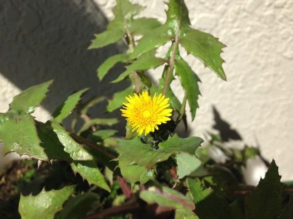 デカ草の花20160315