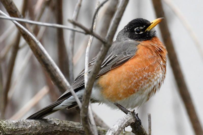 _DSC6864 American Robin