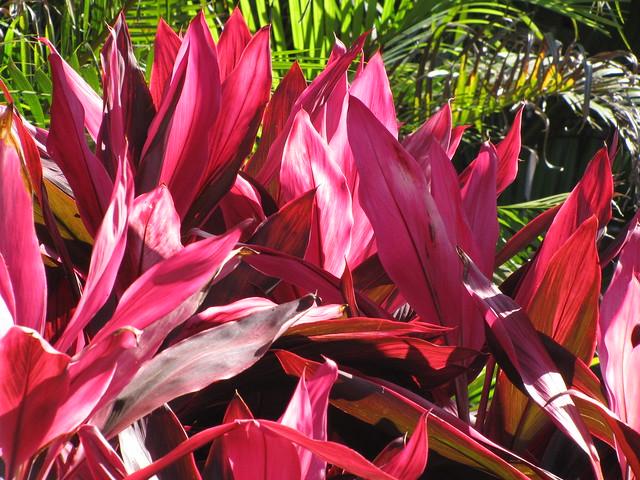 starr-100120-1411-Cordyline_fruticosa-red_leaves-Kihana_Nursery_Kihei-Maui