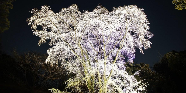 Rikugien Gardens Cherry Blossoms