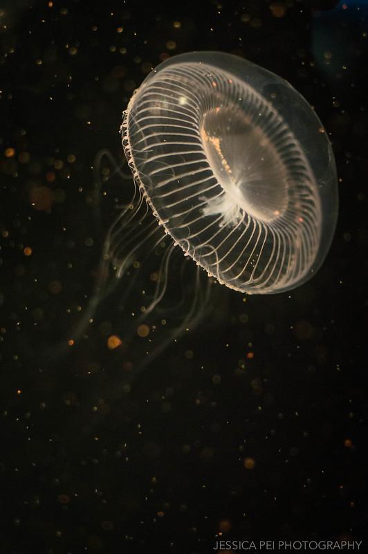 Aquarium of the Pacific Jellyfish
