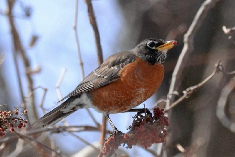 _DSC3406 American Robin