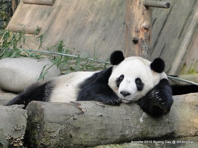 From Pandas International - great news about Tai Shan