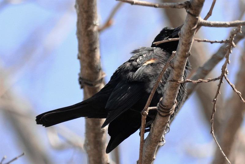 _DSC5145 Red-winged Blackbird