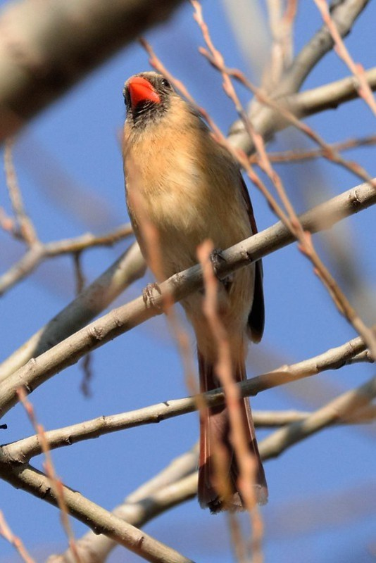 _DSC5969 Northern Cardinal (f)