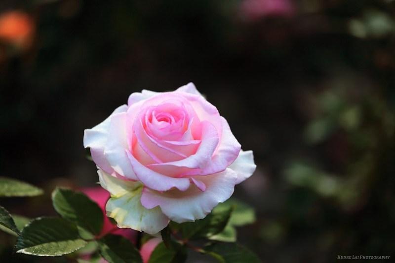 玫瑰(Rose)