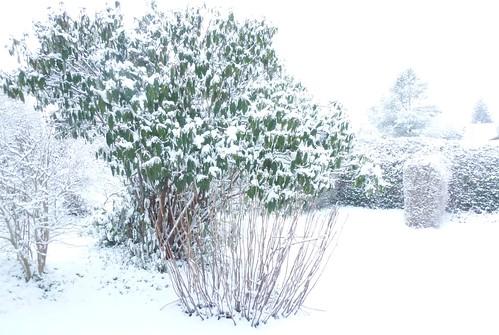 Rynkeblad i snevejr