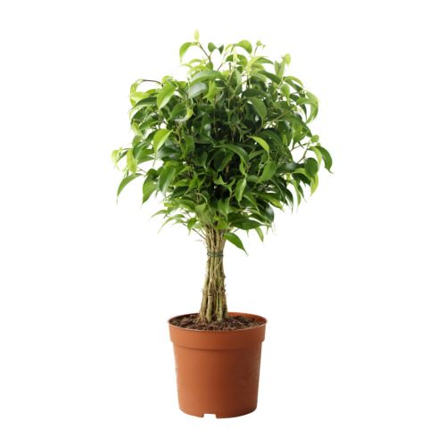 ficus-benjamina-natasja-potted-plant__67443