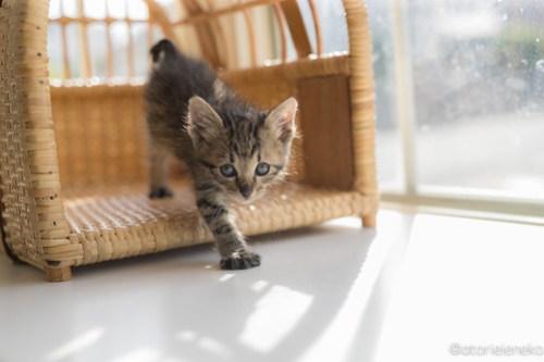 アトリエイエネコ Cat Photographer 41663190484_79369811b8 1日1猫!高槻ねこのおうち まだまだいるよ子猫達! 1日1猫!  高槻ねこのおうち 里親様募集中 猫写真 猫カフェ 猫 子猫 大阪 初心者 写真 保護猫カフェ 保護猫 スマホ キジ猫 カメラ Kitten Cute cat