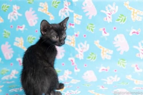 アトリエイエネコ Cat Photographer 42534356201_0262da139b 1日1猫!保護猫カフェねこんチ子猫祭り(6/2)に行ってきた(その1)♪ 1日1猫!  里親様募集中 猫カフェ 猫 子猫 大阪 初心者 写真 保護猫カフェねこんチ 保護猫カフェ 保護猫 スマホ カメラ Kitten Cute cat