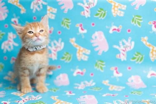 アトリエイエネコ Cat Photographer 41811544894_8f14120986 1日1猫!保護猫カフェねこんチ子猫祭り(6/2)に行ってきた(その2)♪ 1日1猫!  里親様募集中 猫写真 猫カフェ 猫 子猫 大阪 初心者 写真 保護猫カフェ 保護猫 スマホ カメラ Kitten Cute cat