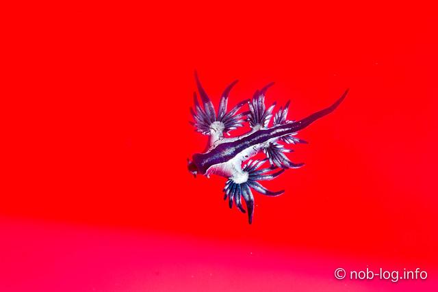 アオミノウミウシ