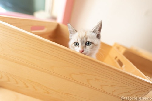 アトリエイエネコ Cat Photographer 40726068400_1ee8f4220c 1日1猫!おおさかねこ俱楽部 里親様募集中のパセリちゃん♪ 1日1猫!  里親様募集中 猫写真 猫カフェ 猫 子猫 大阪 初心者 写真 保護猫カフェ 保護猫 ニャンとぴあ おおさかねこ倶楽部 Kitten Cute cat