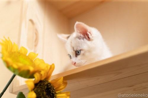 アトリエイエネコ Cat Photographer 42482539592_9e9a3896ca 1日1猫!おおさかねこ俱楽部 里親様募集中のレタスちゃん♪ 1日1猫!  里親様募集中 猫写真 猫カフェ 猫 子猫 大阪 初心者 写真 保護猫カフェ 保護猫 ニャンとぴあ カメラ おおさかねこ倶楽部 Kitten Cute cat