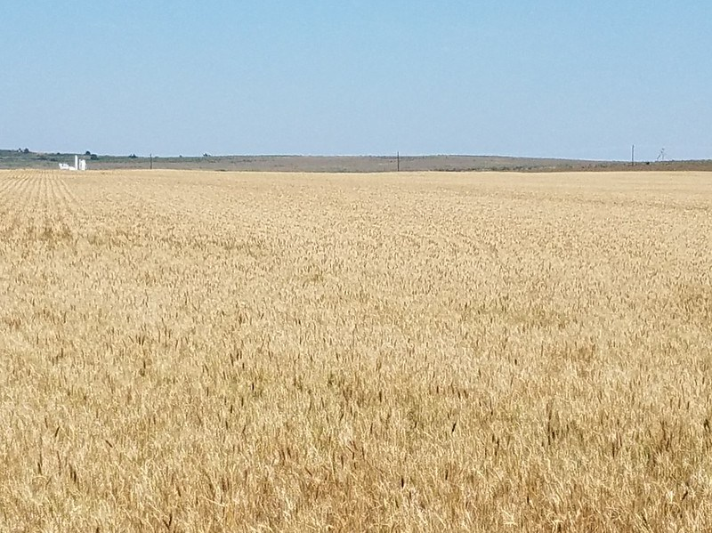 Hemphill County, TX wheat on 5/30/18