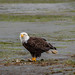 Bald Eagle Having Lunch