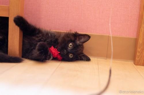 アトリエイエネコ Cat Photographer 41942301985_421b36b266 1日1猫!おおさかねこ俱楽部 トライアル決定のコロンちゃん♪ 1日1猫!  黒猫 里親様募集中 猫写真 猫カフェ 猫 子猫 大阪 初心者 写真 保護猫カフェ 保護猫 ニャンとぴあ スマホ カメラ おおさかねこ倶楽部 Kitten Cute cat