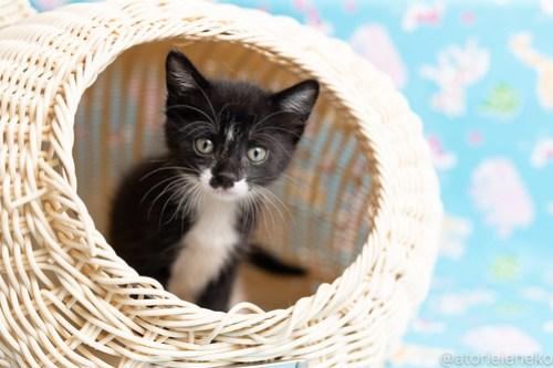 アトリエイエネコ Cat Photographer 42534348001_c38e8cb2e3 1日1猫!保護猫カフェねこんチ子猫祭り(6/2)に行ってきた(その3)♪ 1日1猫!  里親様募集中 猫写真 猫カフェ 猫 子猫 大阪 写真 保護猫カフェねこんチ 保護猫カフェ 保護猫 スマホ カメラ Kitten Cute cat