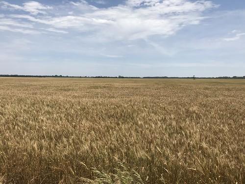 Kansas Wheat