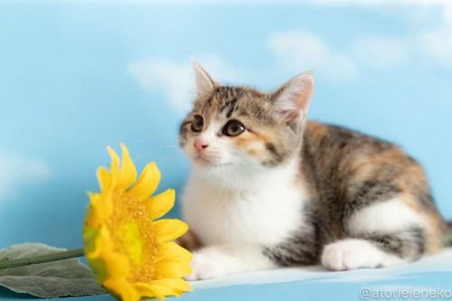 アトリエイエネコ Cat Photographer 42534398091_283e463623 1日1猫!おおさかねこ俱楽部 里親様募集中のトマトちゃん♪ 1日1猫!  里親様募集中 猫写真 猫カフェ 猫 子猫 大阪 初心者 写真 保護猫カフェ 保護猫 ニャンとぴあ カメラ おおさかねこ倶楽部 Kitten Cute cat