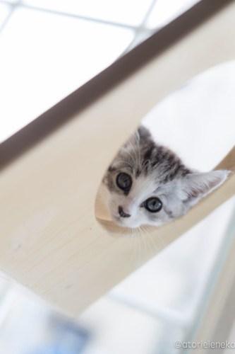 アトリエイエネコ Cat Photographer 27516573967_11f077b071 1日1猫!高槻ねこのおうち まだまだいるよ子猫達! 1日1猫!  高槻ねこのおうち 里親様募集中 猫写真 猫カフェ 猫 子猫 大阪 初心者 写真 保護猫カフェ 保護猫 サビ猫 Kitten Cute cat