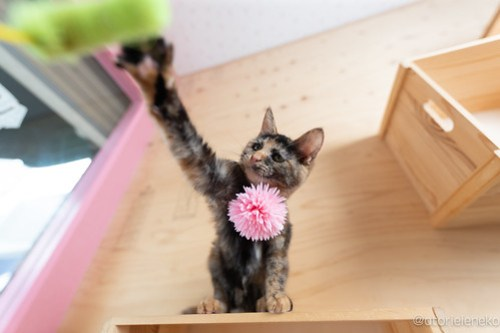 アトリエイエネコ Cat Photographer 41809431865_9b62d75f48 1日1猫!おおさかねこ俱楽部 里親様募集中のあややちゃん♪ 1日1猫!  里親様募集中 猫写真 猫カフェ 猫 子猫 大阪 初心者 写真 保護猫カフェ 保護猫 ニャンとぴあ スマホ サビ猫 カメラ おおさかねこ倶楽部 Kitten Cute cat