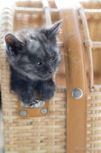 アトリエイエネコ Cat Photographer 41663173624_6228bc0cdb 1日1猫!高槻ねこのおうち まだまだいるよ子猫達! 1日1猫!  高槻ねこのおうち 里親様募集中 猫写真 猫カフェ 猫 子猫 大阪 初心者 写真 保護猫カフェ 保護猫 スマホ キジ猫 カメラ Kitten Cute cat