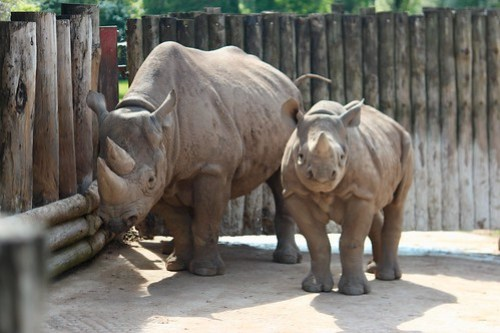 Rhinos at Chester Zoo
