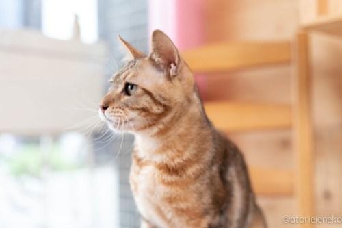 アトリエイエネコ Cat Photographer 41991536724_841a192f13 1日1猫!おおさかねこ俱楽部 里親様募集中のブラウニーくん♪ 1日1猫!  里親様募集中 猫写真 猫カフェ 猫 子猫 大阪 初心者 写真 保護猫カフェ 保護猫 カメラ おおさかねこ倶楽部 Kitten Cute cat