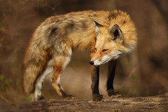 Red Fox Looking Sly