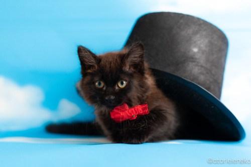 アトリエイエネコ Cat Photographer 42125601064_bff42d7633 1日1猫!おおさかねこ俱楽部 トライアル決定のコロンちゃん♪ 1日1猫!  黒猫 里親様募集中 猫写真 猫カフェ 猫 子猫 大阪 初心者 写真 保護猫カフェ 保護猫 ニャンとぴあ スマホ カメラ おおさかねこ倶楽部 Kitten Cute cat