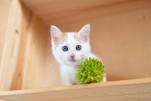 アトリエイエネコ Cat Photographer 42709817811_7b16c19d89 1日1猫!おおさかねこ俱楽部 里親様募集中の山Pくん♪ 1日1猫!  高槻ねこのおうち 里親様募集中 猫写真 猫カフェ 猫 子猫 大阪 写真 保護猫カフェ 保護猫 ニャンとぴあ カメラ おおさかねこ倶楽部 Kitten Cute cat