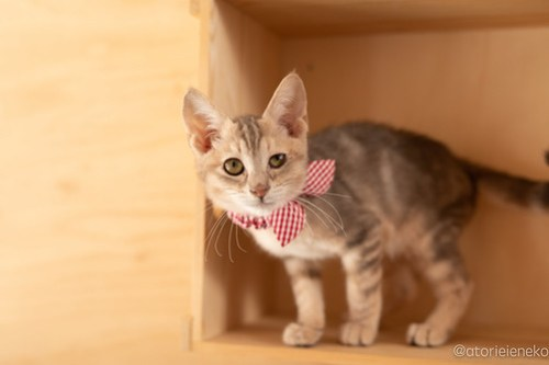 アトリエイエネコ Cat Photographer 42125638544_bf0c7dc024 1日1猫!おおさかねこ俱楽部 里親様募集中のパステルちゃん♪ 1日1猫!  里親様募集中 猫写真 猫カフェ 猫 子猫 大阪 初心者 写真 保護猫カフェ 保護猫 ニャンとぴあ カメラ おおさかねこ倶楽部 Kitten Cute cat