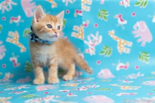 アトリエイエネコ Cat Photographer 42534351591_3246e33877 1日1猫!保護猫カフェねこんチ子猫祭り(6/2)に行ってきた(その2)♪ 1日1猫!  里親様募集中 猫写真 猫カフェ 猫 子猫 大阪 初心者 写真 保護猫カフェ 保護猫 スマホ カメラ Kitten Cute cat