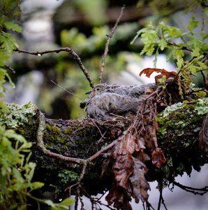the bird survived the wet night on her nest.  another day of pouring rain today.