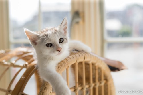 アトリエイエネコ Cat Photographer 40578678140_43cfc90244 1日1猫!高槻ねこのおうち まだまだいるよ子猫達! 1日1猫!  高槻ねこのおうち 里親様募集中 猫写真 猫カフェ 猫 子猫 大阪 初心者 写真 保護猫カフェ 保護猫 スマホ キジ猫 カメラ Kitten Cute cat