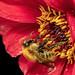 Bee on a Dahlia Bloom