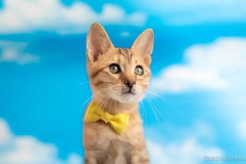 アトリエイエネコ Cat Photographer 27974341857_a246c47330 1日1猫!おおさかねこ俱楽部 里親様募集中のグレンくん♪ 1日1猫!  里親様募集中 猫写真 猫カフェ 猫 子猫 大阪 初心者 写真 保護猫カフェ 保護猫 ニャンとぴあ スマホ キジ猫 カメラ おおさかねこ倶楽部 Kitten Cute cat
