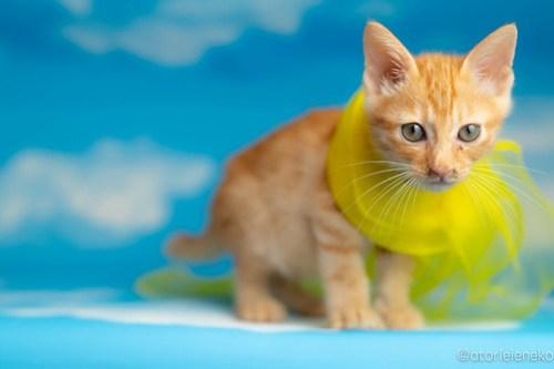 アトリエイエネコ Cat Photographer 28379272727_a1e5d4236f 1日1猫!おおさかねこ俱楽部 里親様募集中のおぼっちゃまくん♪ 1日1猫!  里親様募集中 茶トラ 猫写真 猫カフェ 猫 子猫 大阪 初心者 写真 保護猫カフェ 保護猫 スマホ カメラ ちゃとら おおさかねこ倶楽部 Kitten Cute cat