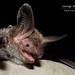 Bechstein's Bat (Myotis bechsteinii)