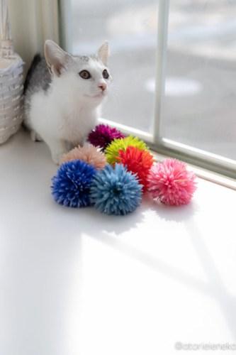 アトリエイエネコ Cat Photographer 28406254507_a69f30dec2 1日1猫!高槻ねこのおうち 里親様募集中のジェリーちゃん♪ 1日1猫!  高槻ねこのおうち 里親様募集中 猫写真 猫カフェ 猫 子猫 大阪 初心者 写真 保護猫カフェ 保護猫 スマホ カメラ Kitten Cute cat
