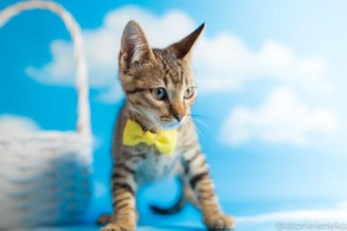 アトリエイエネコ Cat Photographer 43134383514_a6baca45f4 1日1猫!おおさかねこ俱楽部 里活中のさだおくんです♪ 1日1猫!  里親様募集中 猫写真 猫カフェ 猫 子猫 大阪 初心者 写真 保護猫カフェ 保護猫 ニャンとぴあ スマホ キジ猫 カメラ おおさかねこ倶楽部 Kitten Cute cat