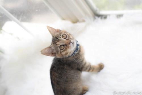 アトリエイエネコ Cat Photographer 29040900327_a831a2f652 1日1猫!高槻ねこのおうち 里活中のココスちゃん♪ 1日1猫!  高槻ねこのおうち 里親様募集中 猫写真 猫カフェ 猫 子猫 大阪 写真 保護猫カフェ 保護猫 スマホ キジ猫 キジ カメラ Kitten Cute cat