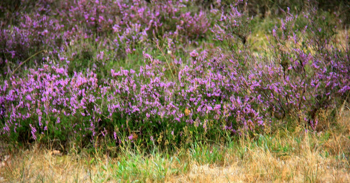 Lüneburg Heide is famous for blooming heather