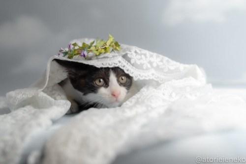 アトリエイエネコ Cat Photographer 29982359188_75c338e701 1日1猫!おおさかねこ俱楽部 里活中のチルチルちゃんです♪ 1日1猫!  里親様募集中 猫写真 猫カフェ 猫 子猫 大阪 初心者 写真 保護猫カフェねこんチ 保護猫カフェ 保護猫 ハチワレ ニャンとぴあ カメラ おおさかねこ倶楽部 Kitten Cute cat