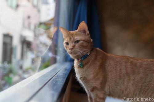 アトリエイエネコ Cat Photographer 42046498540_2f4a92ec46 1日1猫!保護猫カフェウリエルへ行ってきた(1/2)♪ 1日1猫!  里親様募集中 猫写真 猫カフェ 猫 大阪 初心者 写真 保護猫カフェウリエル 保護猫カフェ 保護猫 中崎町 スマホ カメラ ウリエル Kitten Cute cat