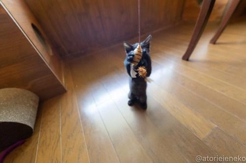 アトリエイエネコ Cat Photographer 42499476895_7ce940246a 1日1猫!CaraCatCafe天使に会いに行って来ました♪ 1日1猫!  里親様募集中 猫 子猫 大阪 初心者 写真 保護猫カフェ 保護猫 スマホ カメラ Kitten Cute cat caracatcafe